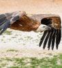 vol vautour